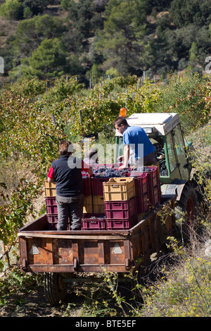 Collecting grapes in a vineyard in the Priorat wine region of Catalonia, Spain - Stock Photo
