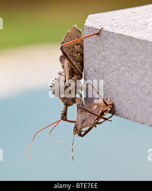 Rare shot of the predatory Assassin bug injecting venom into the body of a Stink or Shield bug - Stock Photo