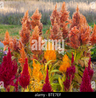 Plumed Cockscomb (Celosia argentea) flower - Stock Photo