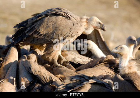 Griffon Vulture vultures Gyps fulvus fighting over carcass Spanish Pyrenees with one stood on the back of others - Stock Photo