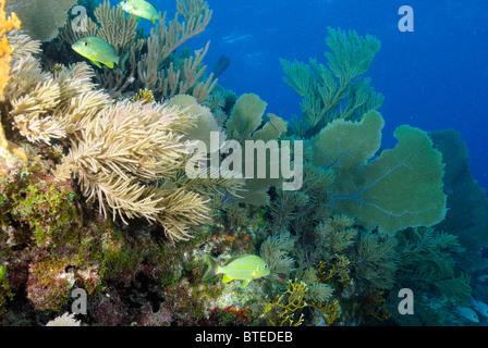 Venus sea fan (scientific name: Gorgonia flabellum), off Key Largo coast, Atlantic Ocean, Florida Keys, USA, United - Stock Photo