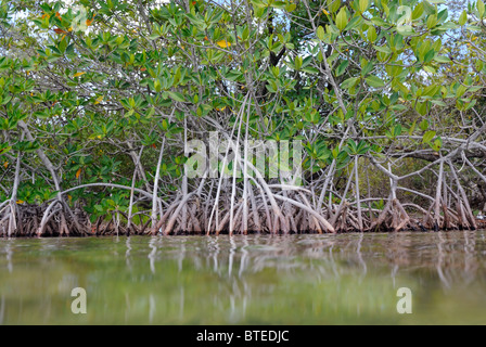 Red mangrove trees in Key Largo, Gulf of Mexico, Florida, USA - Stock Photo