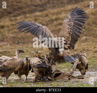 Griffon Vulture vultures Gyps fulvus fighting over carcass Spanish Pyrenees - Stock Photo