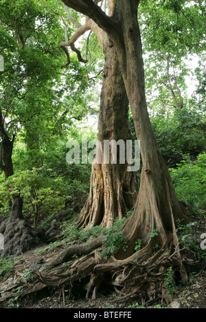 Rift valley forest trees - Stock Photo