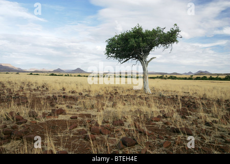 Shepherds tree on a vast open plain with hills in the distance - Stock Photo