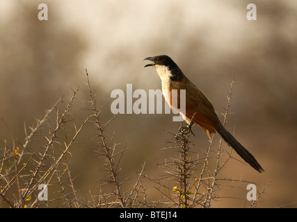 Burchell's Coucal singing from its perch in the Kruger National Park, South Africa. - Stock Photo
