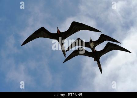 Frigate birds flying in the sky over South Plaza Island, Galapagos, Ecuador - Stock Photo