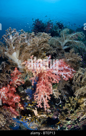 Dendronephthya and Sinularia soft coral colonies wave their polyps in the currents around Cabilao Island. - Stock Photo