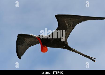 Frigate bird flying in the sky over South Plaza Island, Galapagos, Ecuador - Stock Photo