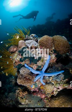 A diver hovers over a diverse coral reef, adorned by a blue sea star, Linkia laevigata. Cabilao Island. - Stock Photo