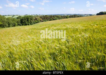 Cotswold barley growing on the Naunton Downs near Hawling, Gloucestershire UK - Stock Photo