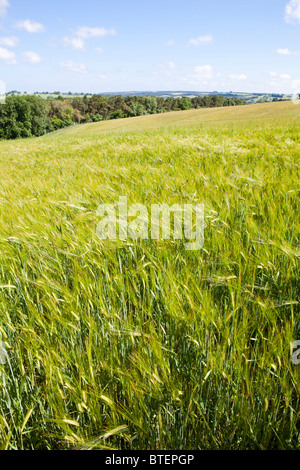 Cotswold barley growing on the Naunton Downs near Hawling, Gloucestershire - Stock Photo