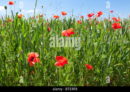 Poppies in a wheat field near the Cotswold village of Condicote, Gloucestershire - Stock Photo
