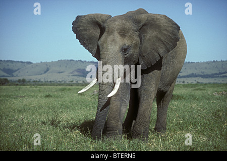 Large mature solitary male elephant bull grazing in green grass grassland savannah Masai Mara National Reserve Kenya - Stock Photo