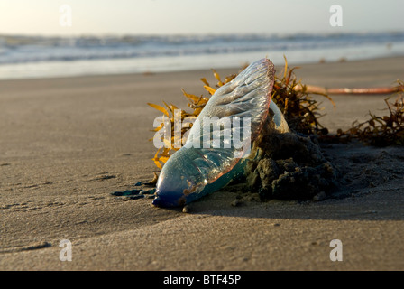 A Man-o-War washed up on the ocean beach in a clump of kelp. - Stock Photo