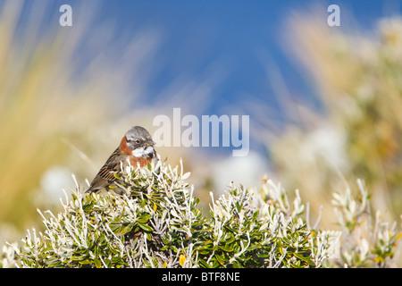 Rufous Collared Sparrow (zonotrichia capensis) perched on a shrub, spring time Tierra del Fuego Argentina - Stock Photo