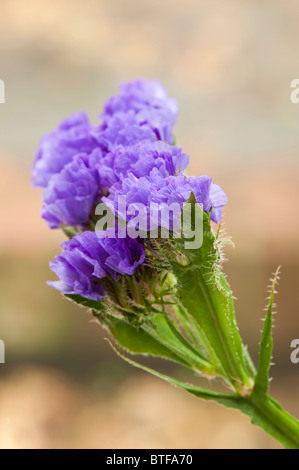 Statice, Limonium sinuatum - Stock Photo