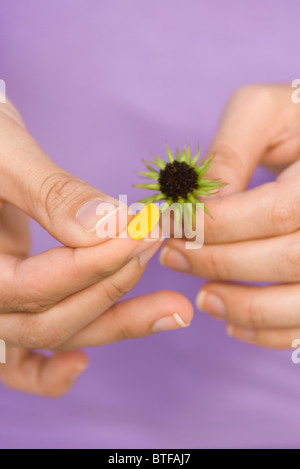 Picking petals from flower - Stock Photo