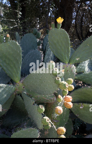 Prickly Pear Cactus (Opuntia Robusta) - Stock Photo