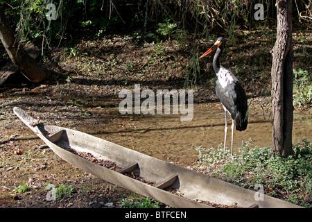 Saddlebill Stork, Ephippiorhynchus senegalensis, in captivity at the Nashville Zoo, Tennessee, USA. - Stock Photo