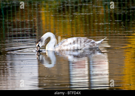 A swan dipping its beak in the water looking for food on Swannie [Swanie] Ponds at Autumn in Dundee,UK - Stock Photo