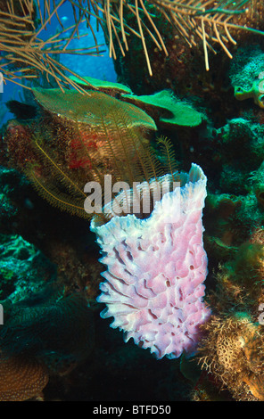 Purple Vase Sponge On Coral Reef Off The Coast Of Roatan Honduras