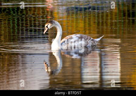 A swan swimming on Swannie [Swanie] Ponds in rural Dundee in Autumn - Stock Photo