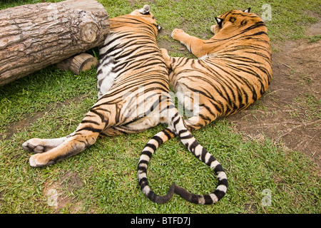Tiger tails form a heart at Tiger Kingdom, a tourist facility where visitors can pet and interact with tigers under - Stock Photo