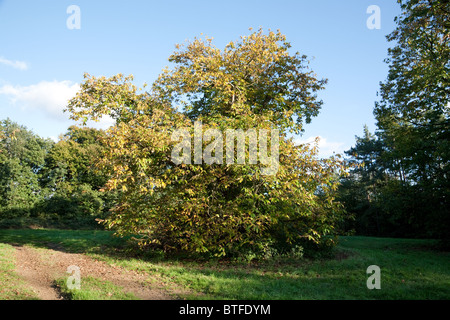Sweet Chestnut tree, Castanea sativa, in autumn, Suffolk, UK - Stock Photo