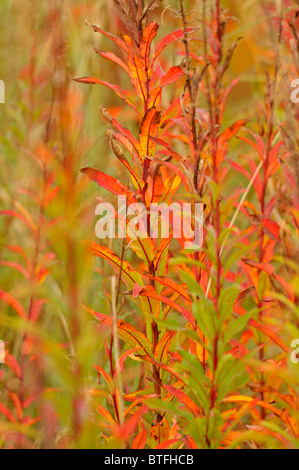 ROSE BAY WILLOW HERB late autumn colours - Stock Photo