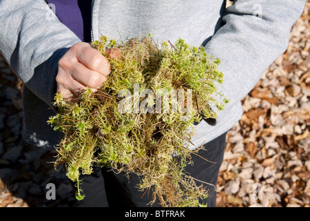 Person holding Sphagnum Moss Northern Michigan USA - Stock Photo