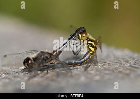 Black Darter Dragon Flies Paired  SCO 6942 - Stock Photo