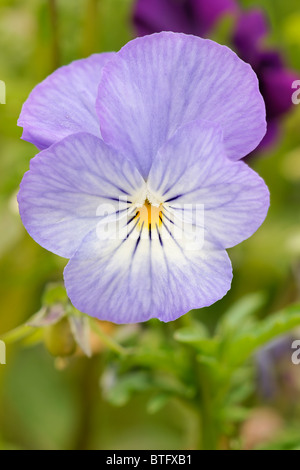 Puple Winter Pansy. Viola. Violet. - Stock Photo