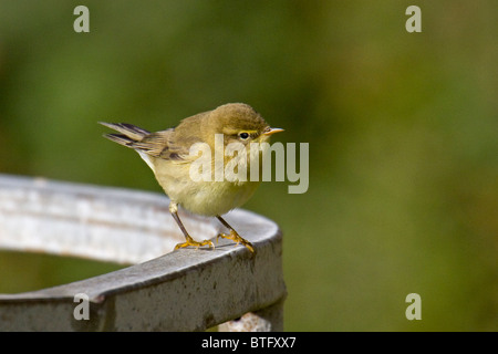 Chiffchaff standing on metal cattle feeder - Stock Photo