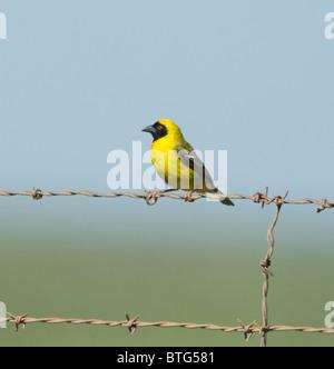 Southern Masked Weaver Ploceus velatus South Africa - Stock Photo
