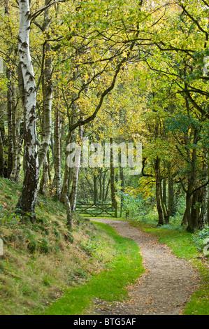 Gated woodland path or walk through silver birch. - Stock Photo