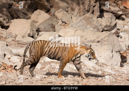 Wild Bengal tiger in the Ranthambhore National Park - Stock Photo