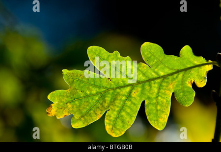 Oak leaf changing colour during autumn or fall. - Stock Photo