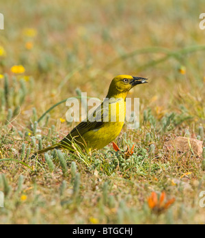 Cape Weaver (Ploceus capensis), Namaqualand, Northern Cape, South Africa - Stock Photo
