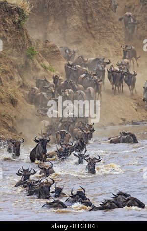Blue Wildebeest (Connochaetes taurinus) crossing the Mara River - Stock Photo