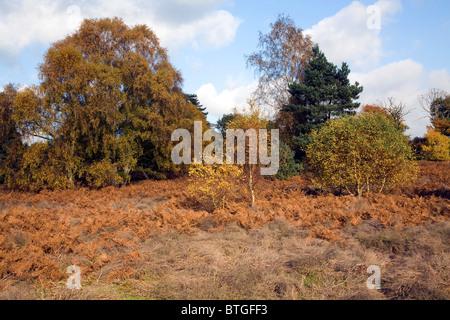 Trees bracken heathland Shottisham Suffolk England - Stock Photo
