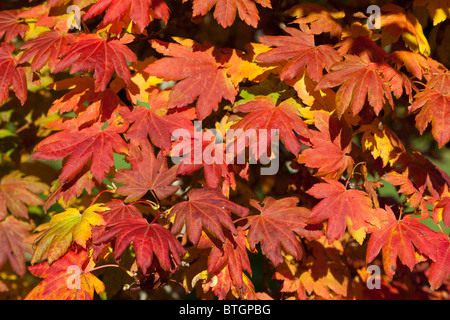 Autumn leaves in the National Japanese Maple Collection - Westonbirt Arboretum 1 - Stock Photo