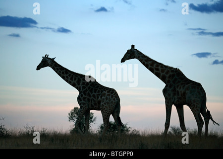 Two giraffes silhouetted against a late afternoon sky with clouds, South Africa - Stock Photo