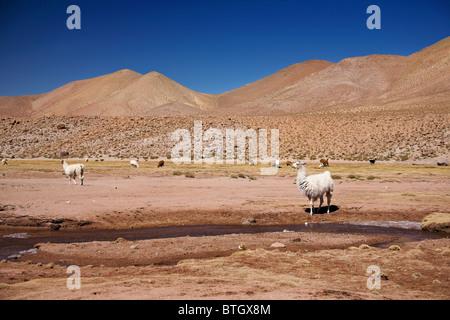 lamas in Atacama desert, Chile - Stock Photo