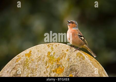 Chaffinch (Fringilla Coelebs) adult male singing from grave stone, UK. - Stock Photo