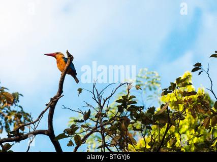 Stork-billed Kingfisher (Pelargopsis capensis) sitting in a tree along Kinabatangan River. - Stock Photo