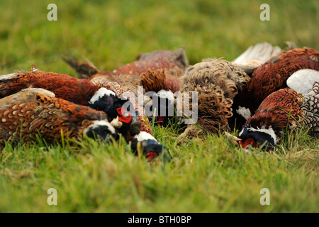 shot pheasants in a heap on floor - Stock Photo