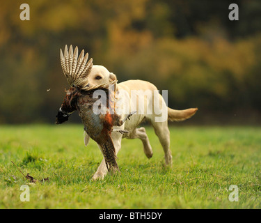 labrador retriever retrieving a shot pheasant - Stock Photo