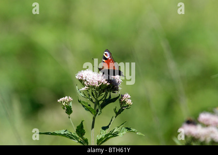 European Peacock (Inachis io), a butterfly on hemp-agrimony - Stock Photo
