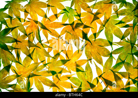 Autumn acer leaves arranged on a white background - Stock Photo